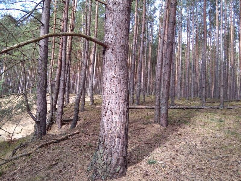 une forêt de pin en Pologne photographie stock libre de droits