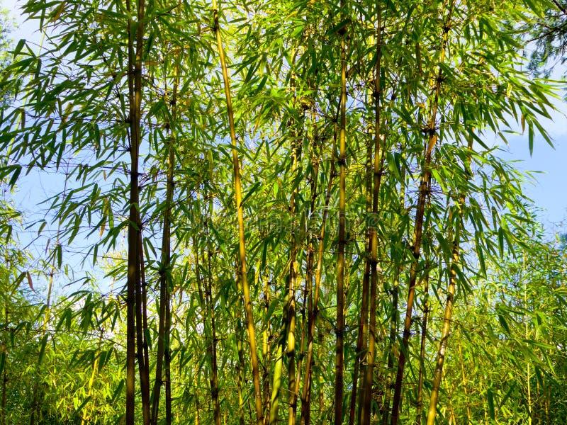 Une forêt en bambou photos libres de droits