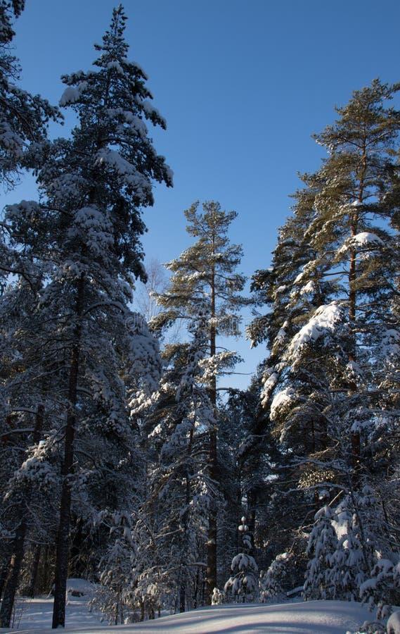 Une forêt neigeuse de pin pendant l'hiver photos libres de droits