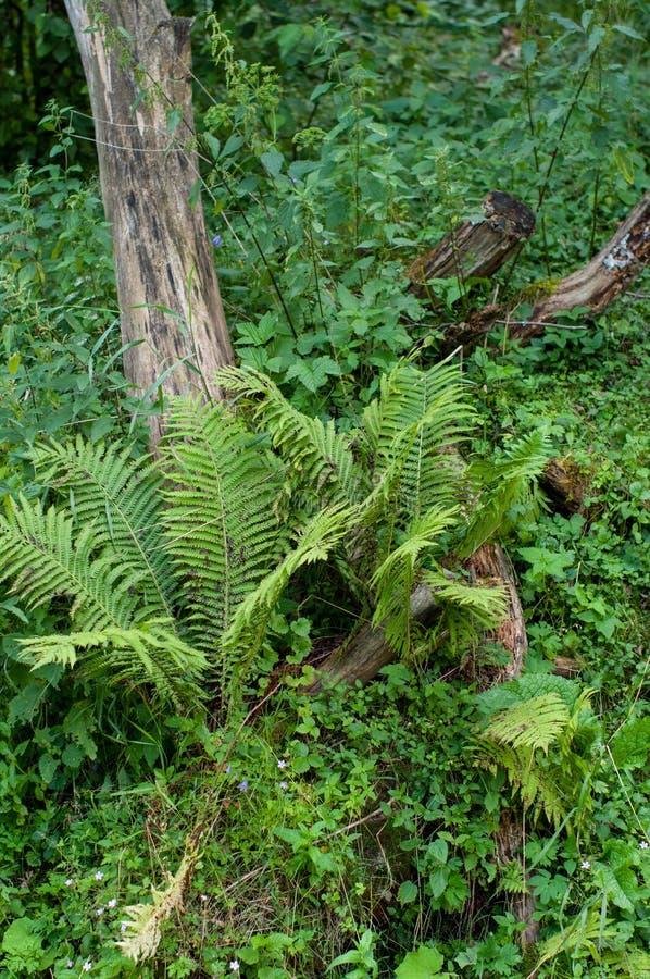 Une fougère sauvage à côté d'un vieux tronçon d'arbre photographie stock