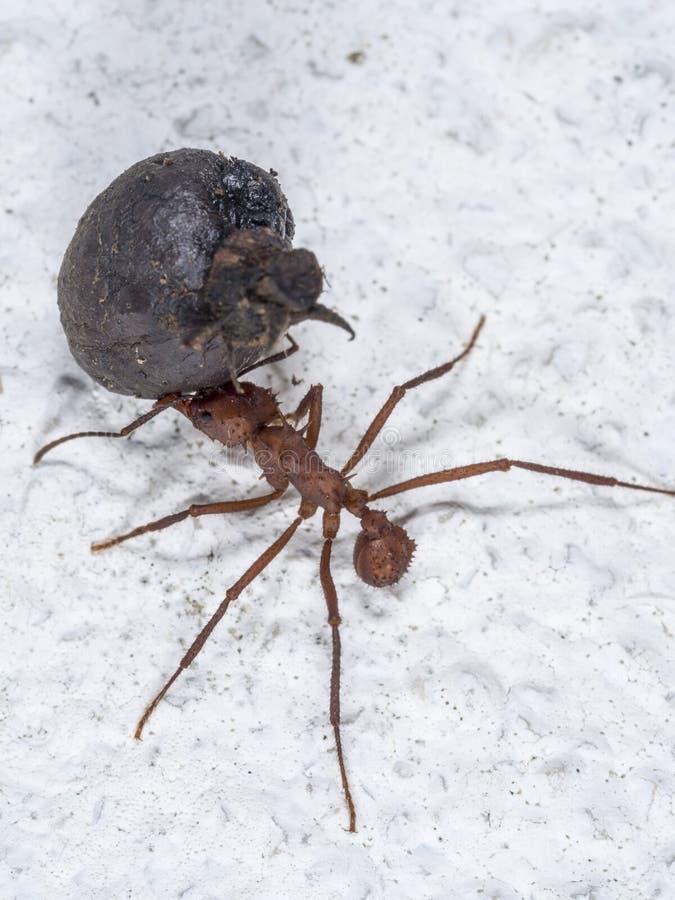 Une fourmi de feuille-coupeur assumant une pièce de fruit photos libres de droits