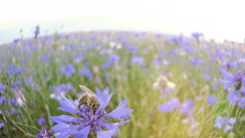Une fourmi pollinise une fleur bleue de pr? de centaur?e dans le domaine d'?t? sans personnes ?troitement vers le haut de vid?o l image stock