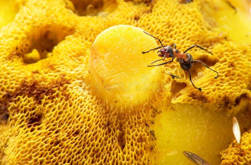 Une fourmi rampant sur un champignon images libres de droits