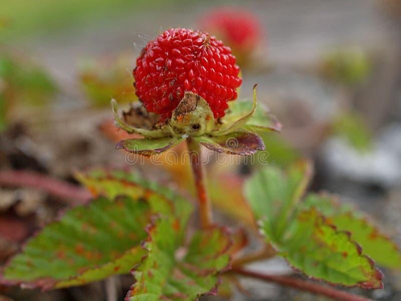 Une fraise rouge sur une usine de fraisier commun photo stock