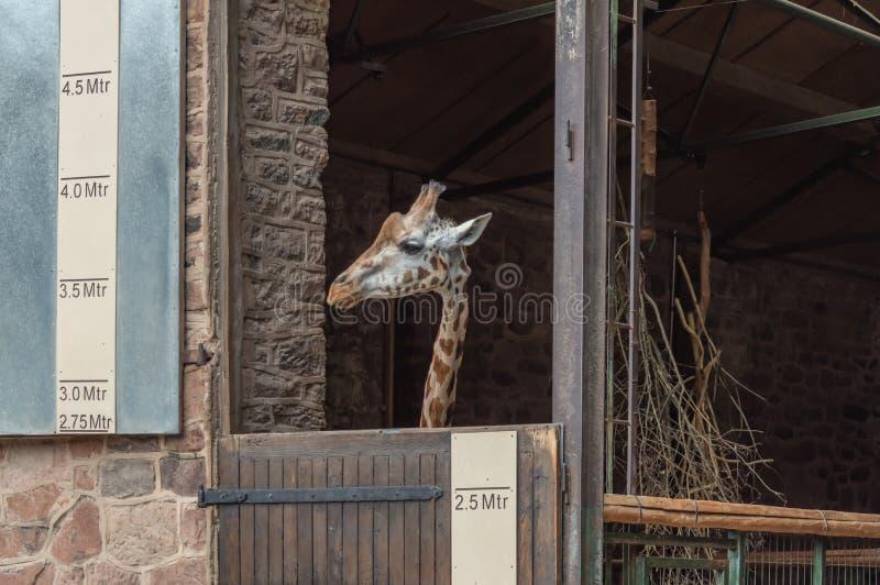 Une girafe dans un stylo le zoo photographie stock