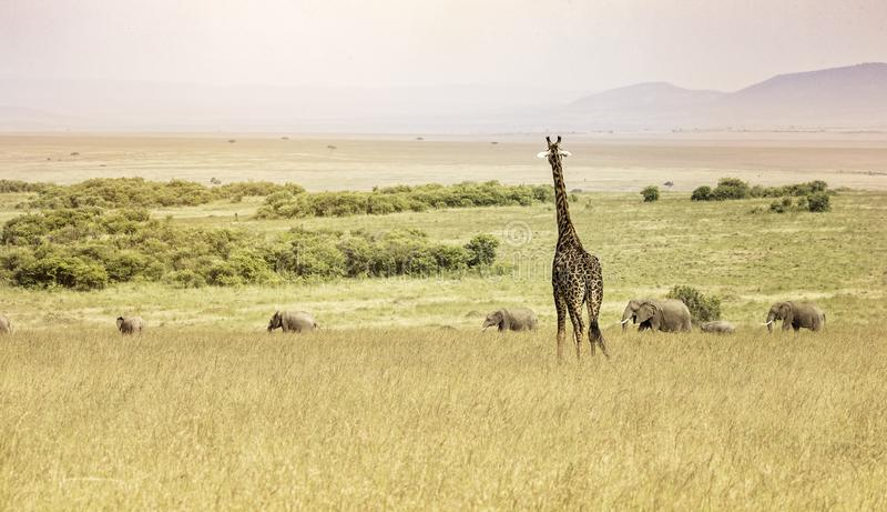 Une girafe donnant sur une ligne des éléphants dans le Maasai Mara photos stock