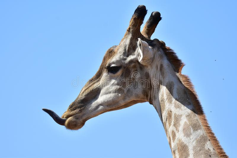 Une girafe impolie images stock