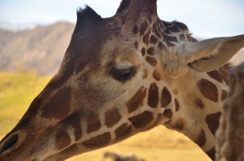Une girafe satisfaite photo stock