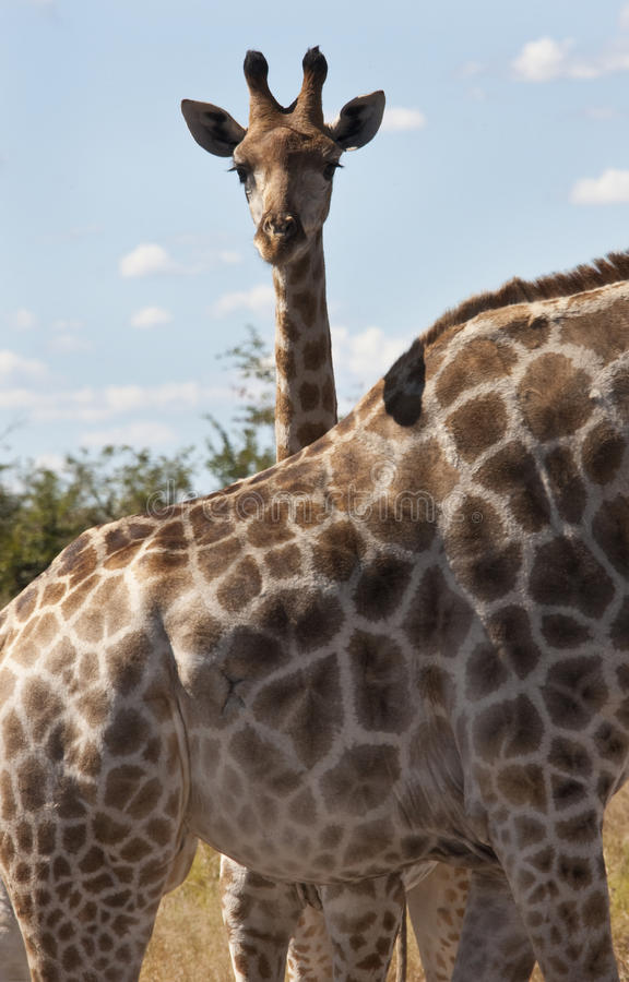 Une giraffe (camelopardalis de Giraffa) photographie stock