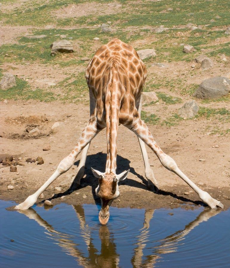 Une giraffe potable images stock