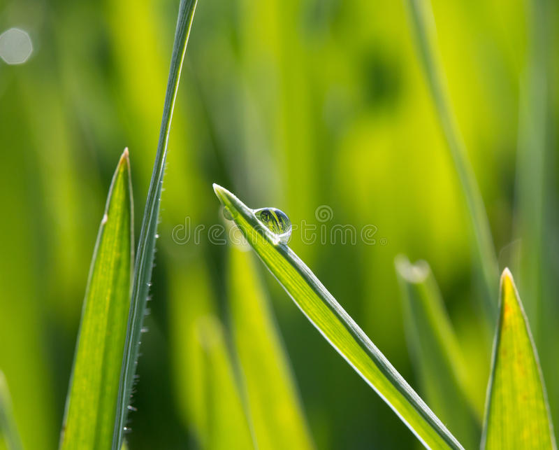 Une goutte de rosée sur l'herbe verte au soleil photos libres de droits