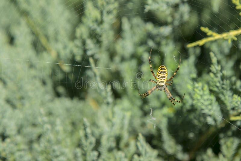 Une grande araignée avec les rayures jaunes sur une toile d'araignée dans le jardin Lat de jardin-araignée d'araignée Araignées a photo stock