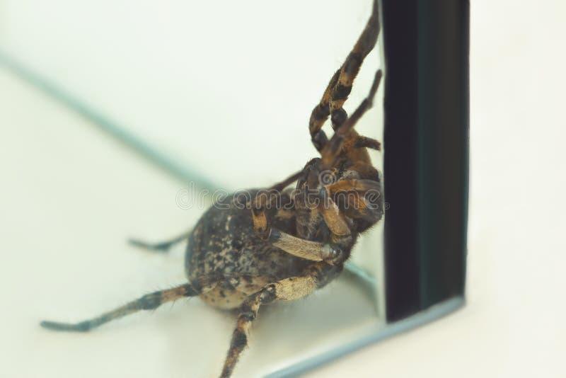 Une grande araign?e sautante laide de tarentule se repose au sol sur un fond blanc en position agressive Les yeux et les crocs de image libre de droits
