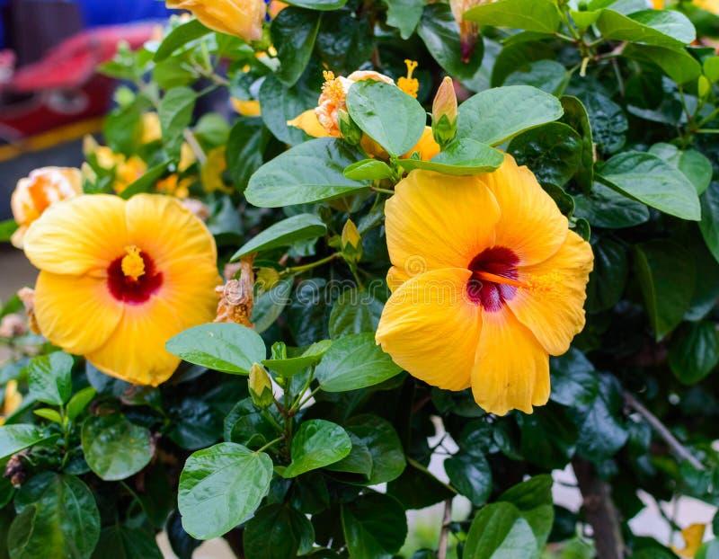 Une grande fleur orange avec un centre pourpre photos libres de droits