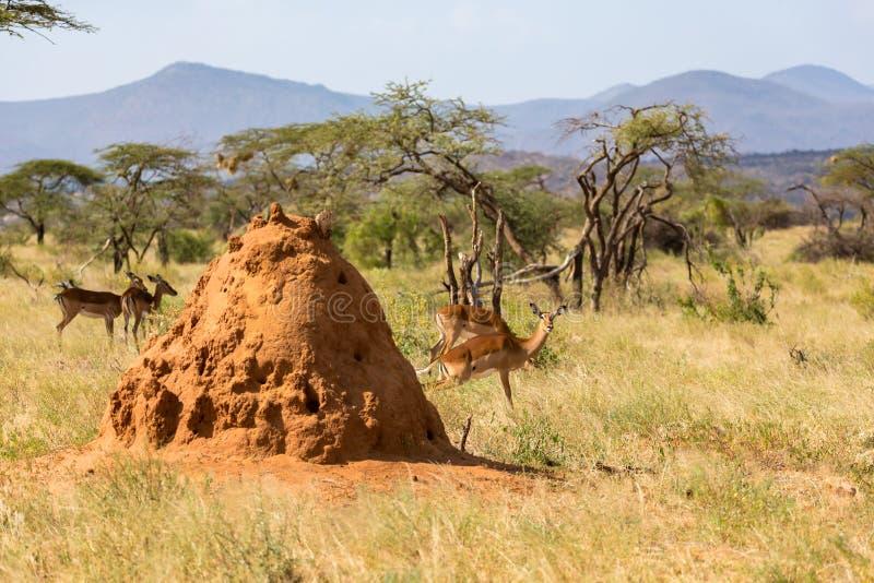 Une grande fourmilière derrière laquelle la peau de Gerenuk photos libres de droits