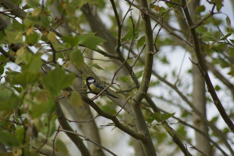 Une grande mésange dans un arbre Vu de loin Vue lointaine - France image libre de droits