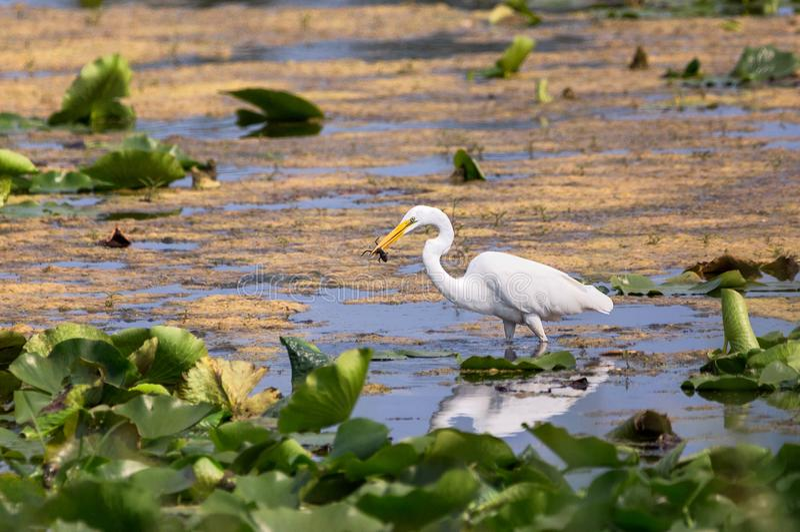 Une grande pêche de héron dans un marais photographie stock libre de droits