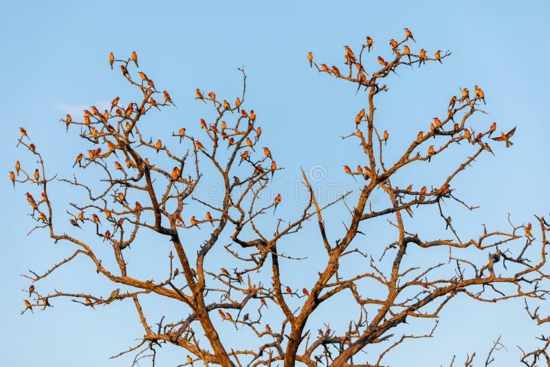 Une grande réunion des mangeurs d'abeille de carmin sur un arbre photographie stock libre de droits