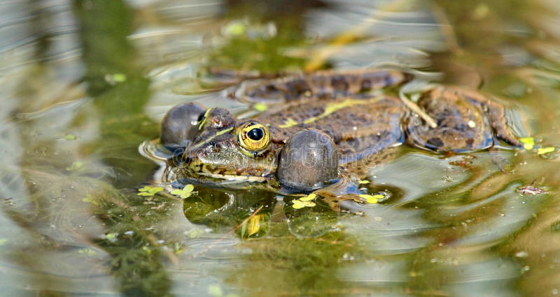 Une grenouille image stock
