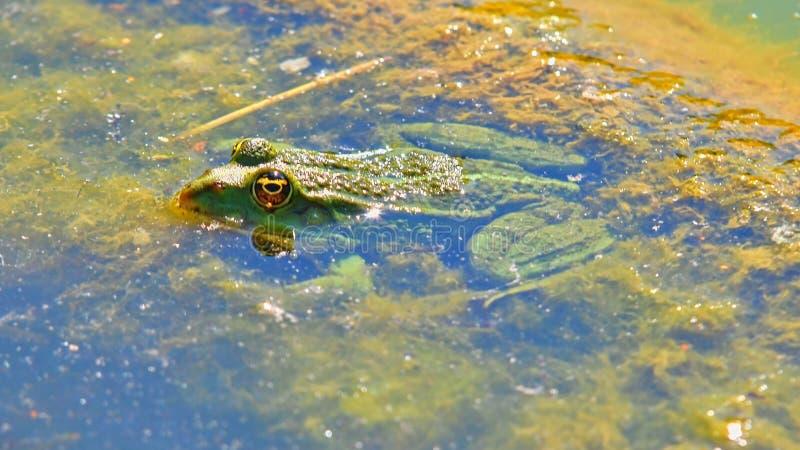Une grenouille comestible verte, également connue sous le nom de grenouille commune de l'eau Natation de grenouille dans l'étang photographie stock libre de droits