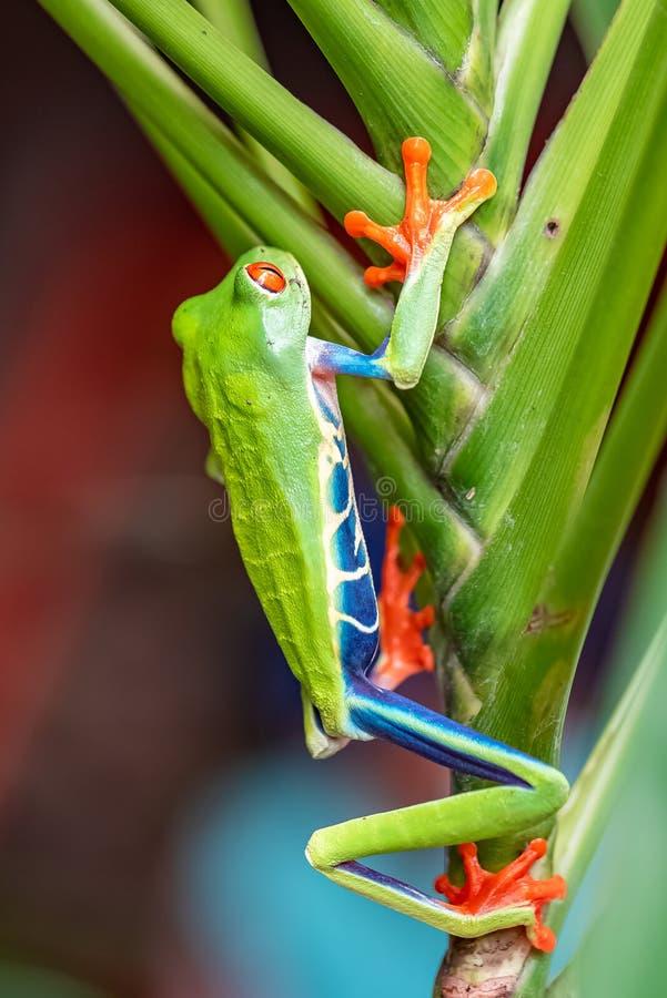 Une grenouille d'arbre aux yeux rouges photographie stock