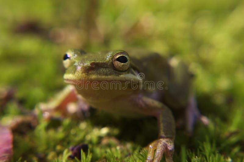 Une grenouille d'arbre dans la mousse photo stock