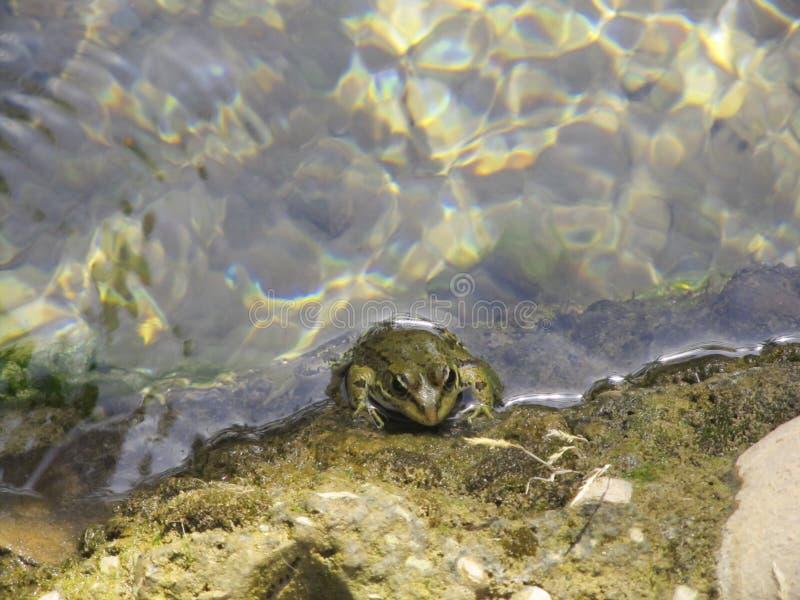 Une grenouille dans l'eau image stock