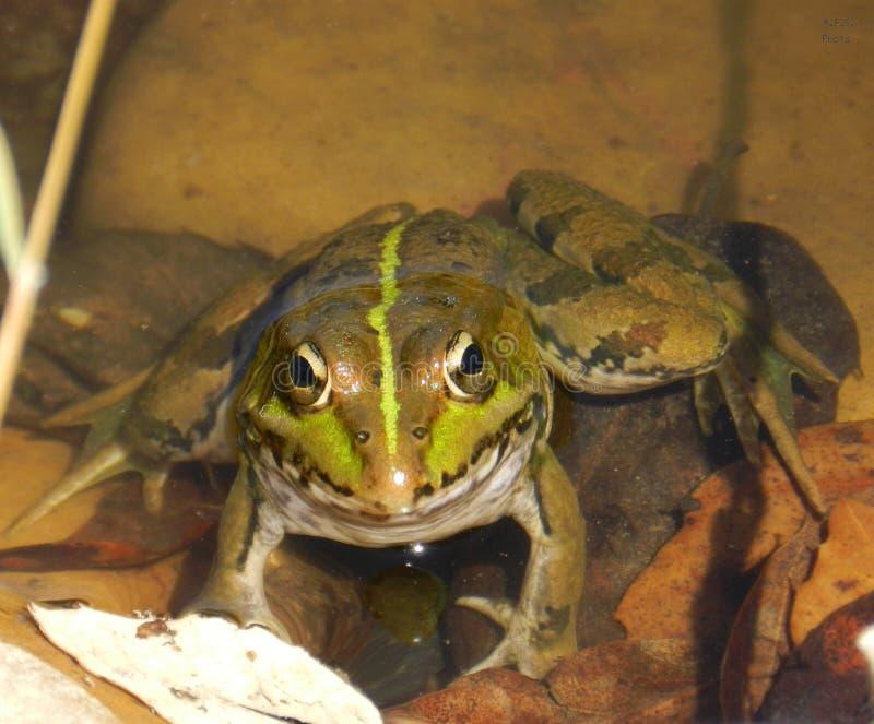 Une grenouille dans un lac images libres de droits