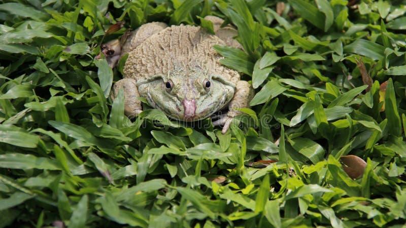 Une grenouille sur l'herbe verte images stock