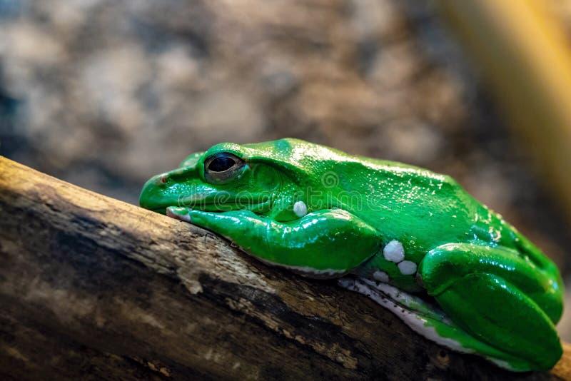 Une grenouille verte photos stock