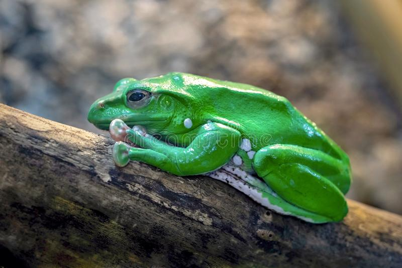 Une grenouille verte image stock