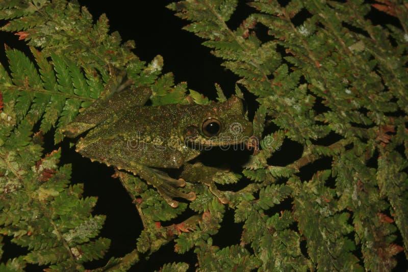 Une grenouille verte du genre Osteoceophalus qui est bien camouflé images libres de droits