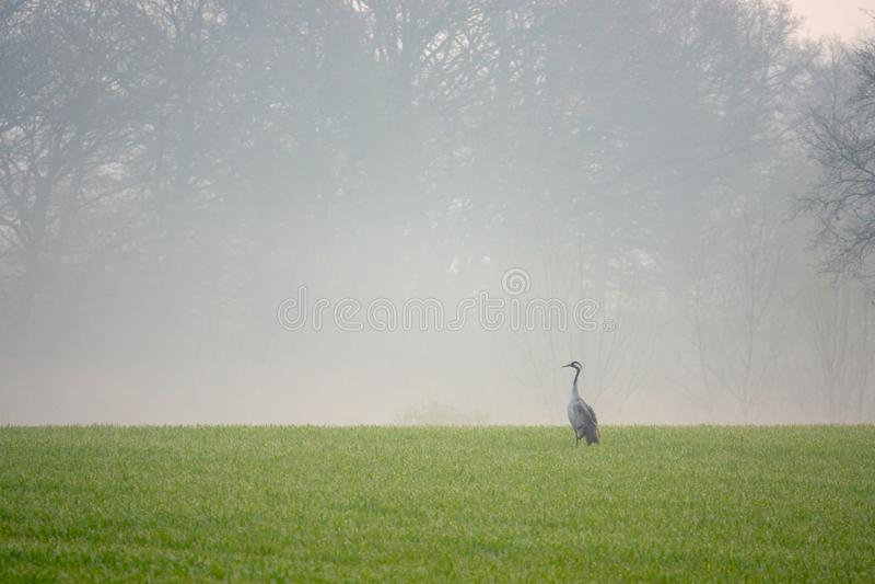 Une grue recherche la nourriture dans un domaine tôt le matin photos libres de droits