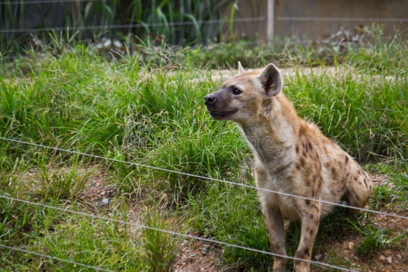 Une hyène photo stock