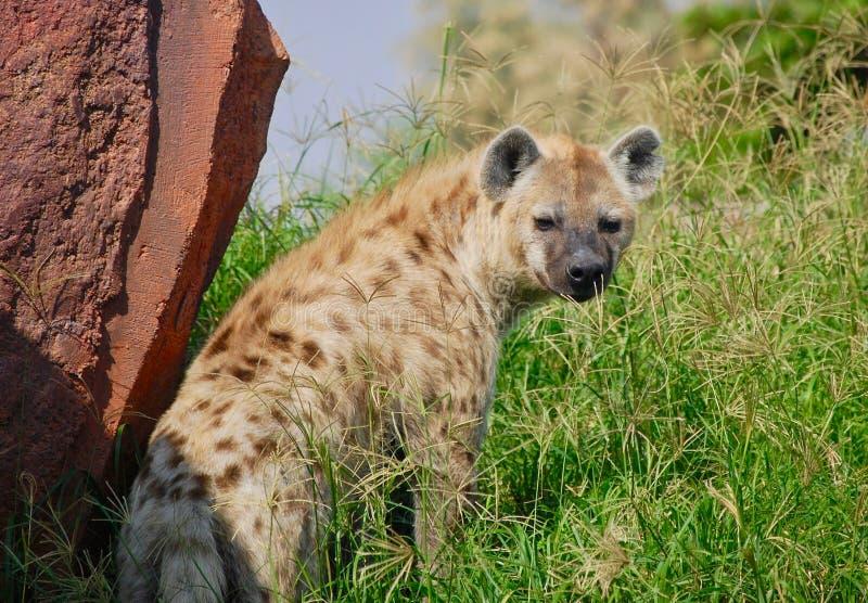 Une hyène regardant en arrière dans une prairie images libres de droits
