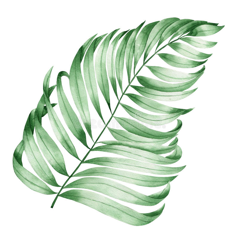 Une illustration avec une branche d'isolement des feuilles d'une paume peinte dans l'aquarelle sur un fond blanc illustration de vecteur