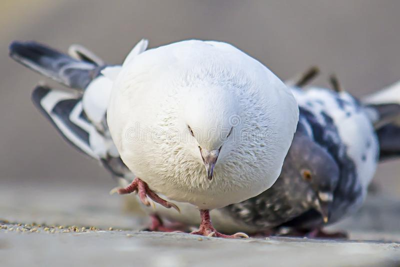 Une image blanche de colombe de pigeon image stock