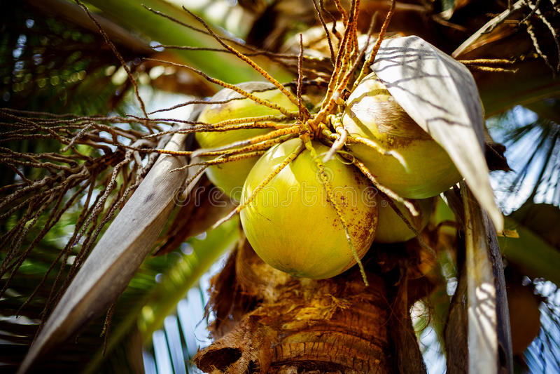 Une image en gros plan des noix de coco accrochant sur un palmier photo libre de droits
