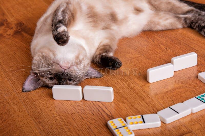 Une image humoristique d'un tortie dirigent le chat siamois jouant des dominos photos stock