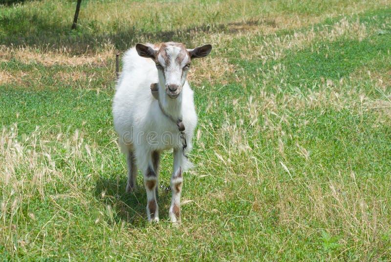 Une jeune chèvre blanche. photographie stock