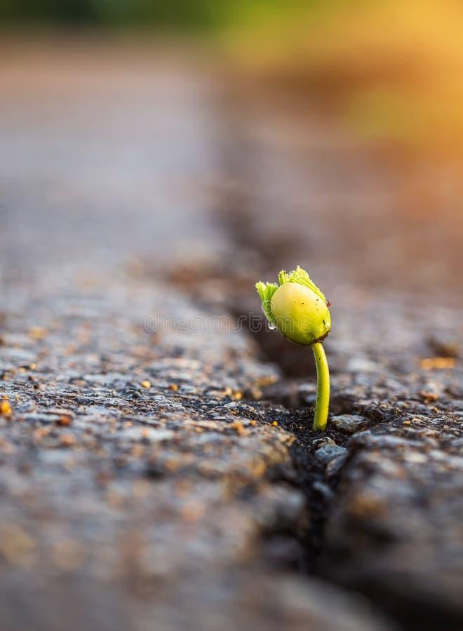 Une jeune graine verte d'arbre s'élevant des fissures de route goudronnée photographie stock