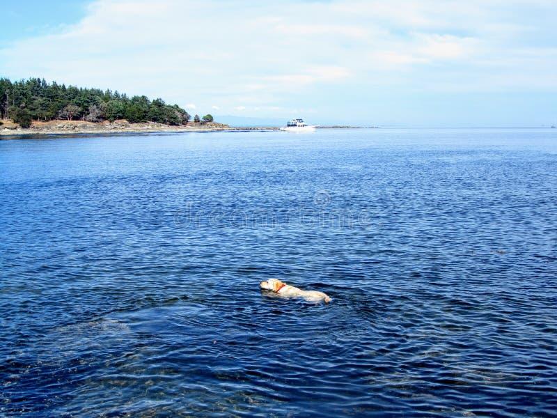 Une jeune natation jaune de laboratoire loin de rivage d'île de remorqueur dans les îles de Golfe de la Colombie-Britannique, Can photo libre de droits