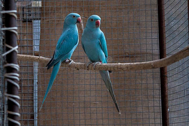 Une jeune paire de perruches d'Alexandre photographie stock libre de droits