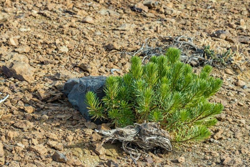 Une jeune pousse isolée s'accrochant aux roches sans vie d'un désert sec Chaîne de montagne entourant le volcan de Teide Stationn photos libres de droits
