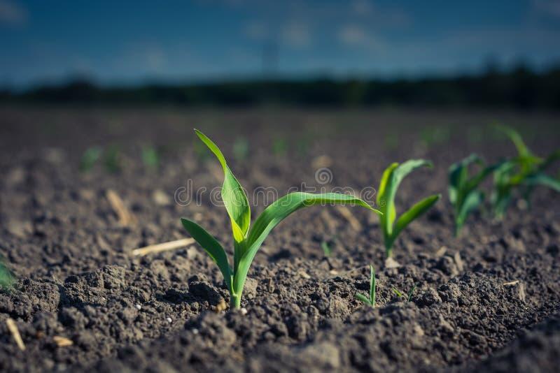 une jeune usine de maïs, sur une correction de champ allumée par le soleil photo stock