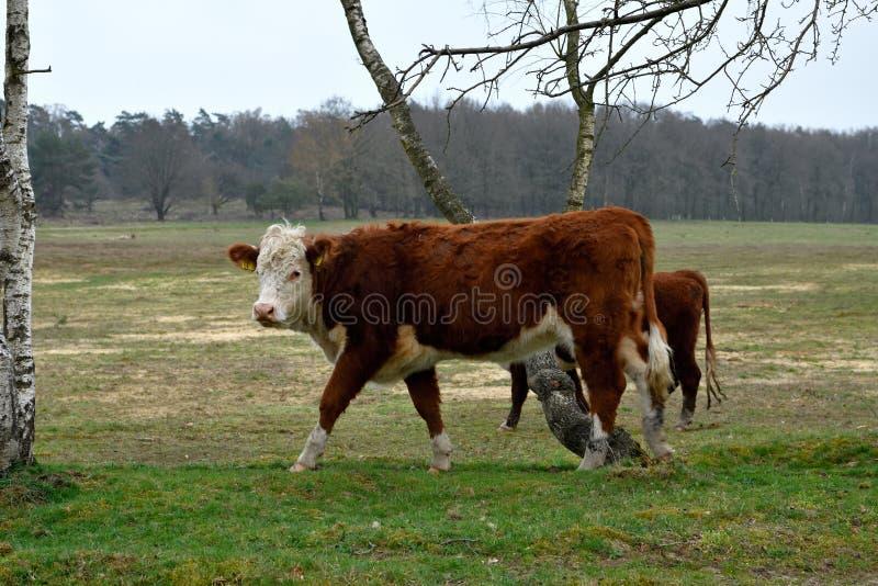 Une jeune vache adulte tourne sa t?te vers la gauche images stock