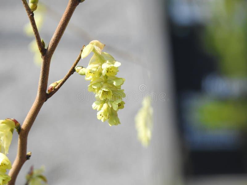 Une jolie fleur de ressort sur un arbre fruitier photo stock