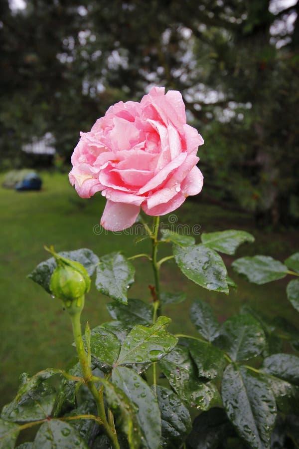 Une jolie rose anglaise rose avec des baisses de l'eau un jour pluvieux images libres de droits