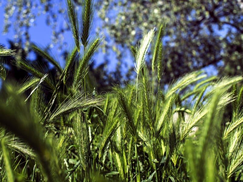 une lame de maïs contre le ciel image libre de droits