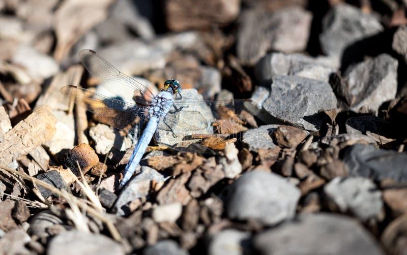 Une libellule bleue dans la nature images stock